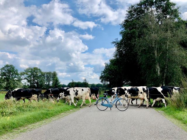 Koeienoversteek
